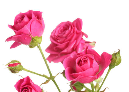 Little pink roses isolated on white photo