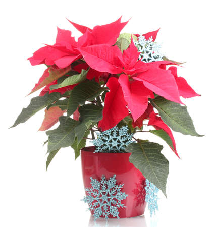 Beautiful poinsettia with blue snowflakes isolated on white photo