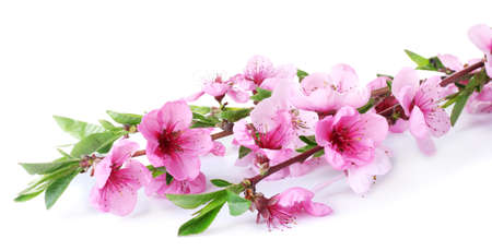 peach tree: beautiful pink peach blossom isolated on white