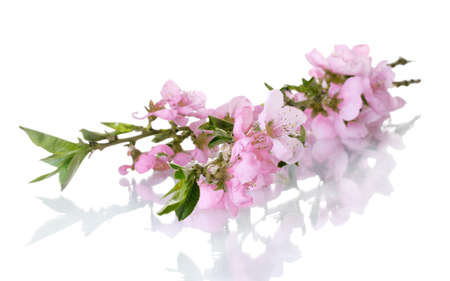 beautiful pink peach blossom isolated on white photo