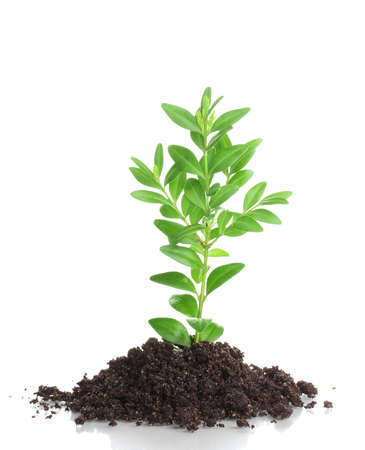 Young plant in ground isolated on white Stock Photo - 14017562