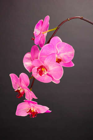 Beautiful blooming orchid on grey background photo