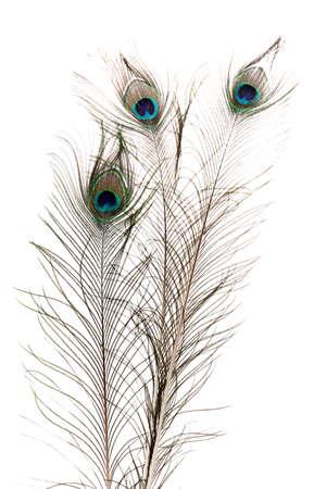 pluma de pavo real: Las plumas del pavo real en el fondo blanco