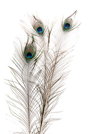 peacock feather: Peacock Feathers on white background