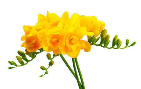 Beautiful yellow freesias isolated on white photo