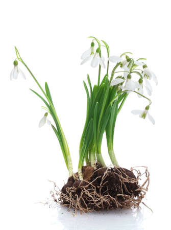 snowdrops with roots and soil isolated on white photo
