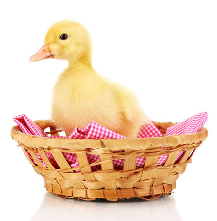 Duckling in basket isolated on white photo
