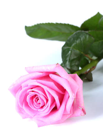 beautiful pink rose isolated on white photo