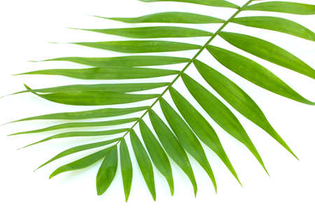 beautiful green palm leaf isolated on white photo