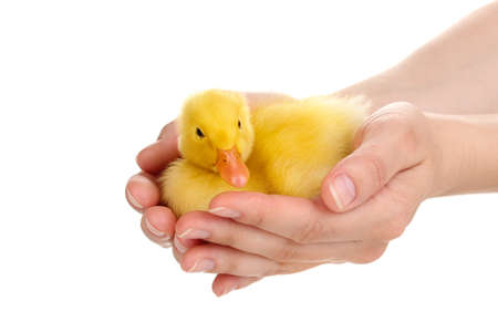 Duckling in hands isolated on white photo