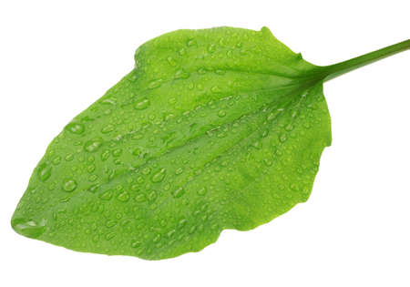 hen's: plantain leaf with drops  isolated on a white Stock Photo