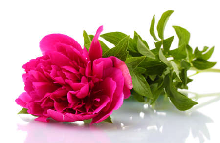 beautiful pink peony isolated on white Stock Photo - 14115662