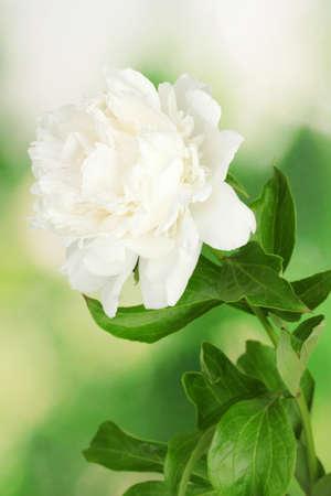 在绿色背景的美丽的白色牡丹