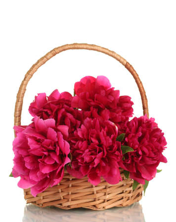 beautiful pink peonies in basket with bow isolated on white photo