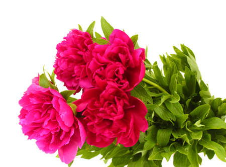 beautiful pink peonies isolated on white photo