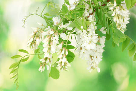 Branch of white acacia flowers on green background photo