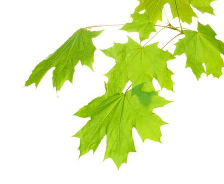maple leaf: maple leaves isolated on white