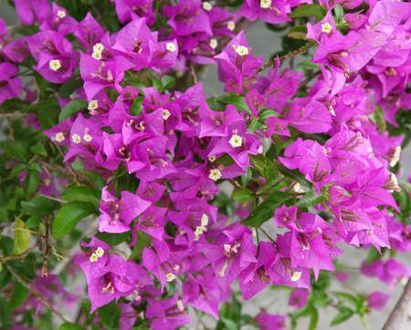 Purple bougainvillea flower close-up photo