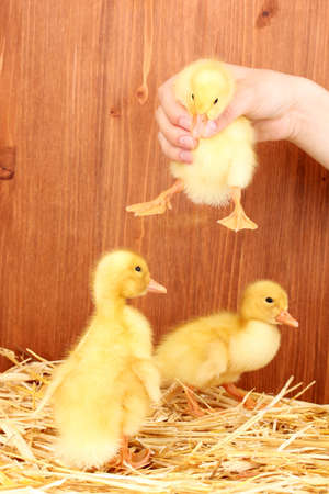 Many duckling on straw on wooden background photo