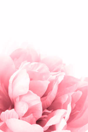 beautiful pink peony close up isolated on white photo