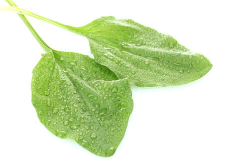 hen's: plantain leaves with drops  isolated on a white