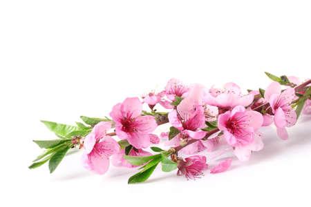 cerezos en flor: bella flor del melocotón rosado aislado en blanco