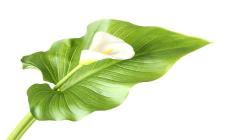 on leave: White calla with leaf isolated on white