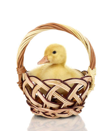 Duckling in basket isolated on white Stock Photo - 14342980