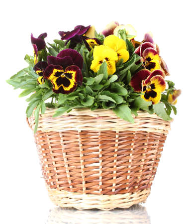 beautiful violet pansies in basket isolated on a white   photo