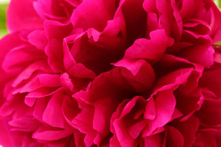 beautiful pink peony close up photo