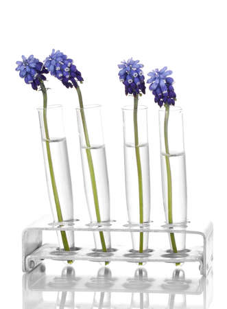 Muscari - hyacinth in test-tubes isolated on white photo