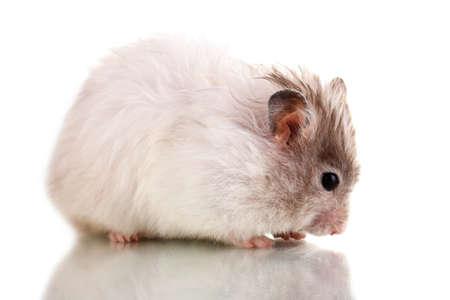 Cute hamster eating sunflower seeds isolated white
