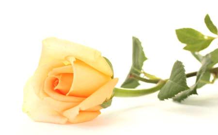 rosas amarillas: hermosa rosa aislado en blanco Foto de archivo