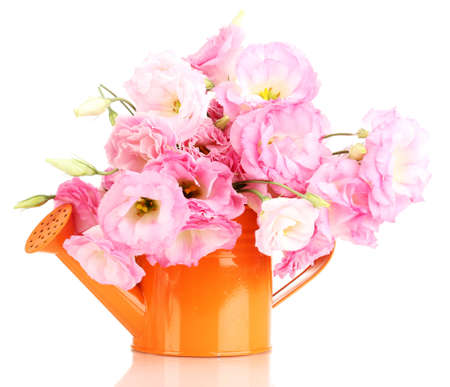 bouquet of eustoma flowers in watering can, isolated on white photo