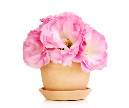 bouquet of eustoma flowers in flowerpot, isolated on white photo