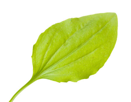plantain: plantain leaf isolated on a white
