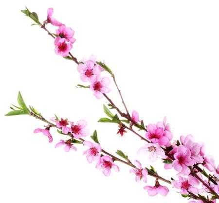 flor de durazno: bella flor del melocot�n rosado aislado en blanco