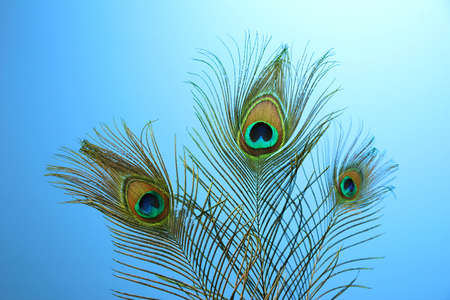 Peacock feathers on blue background photo