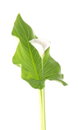 calas blancas: Blanco callas hoja aislado en blanco Foto de archivo