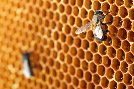 yellow beautiful honeycomb with honey and bee, background photo