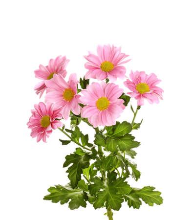 Pink chrysanthemum flowers isolated on white photo
