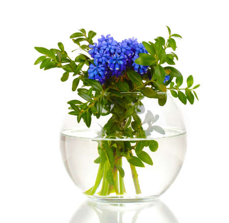 Muscari - hyacinth in vase isolated on white photo