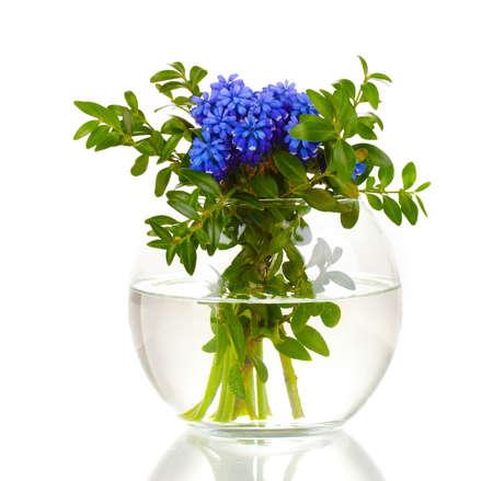 Muscari - hyacinth in vase isolated on white photo
