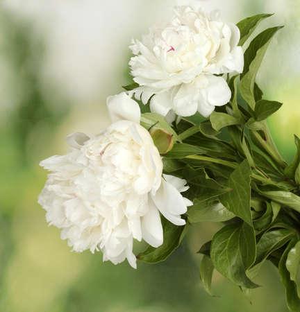 june: beautiful white peonies on green background