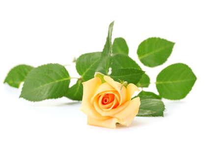 valentinas: beautiful rose isolated on white