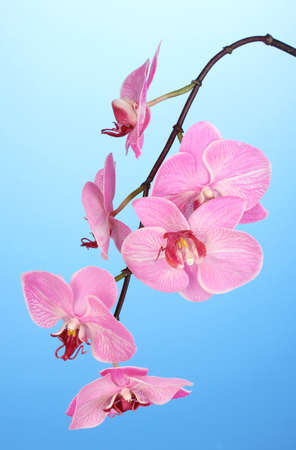 Beautiful blooming orchid on blue background photo