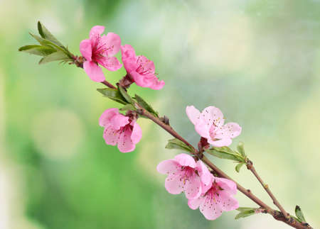 beautiful pink peach blossom on green background photo