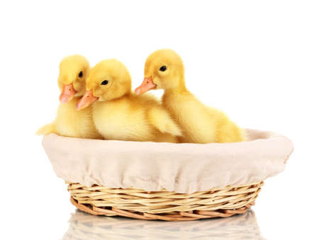 Three duckling in basket isolated on white photo