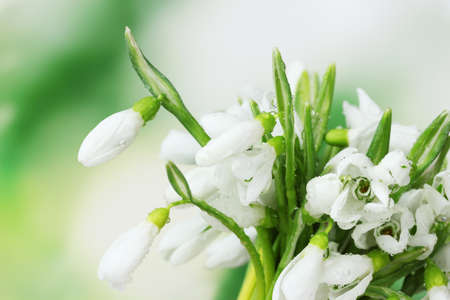 beautiful snowdrops on green background photo