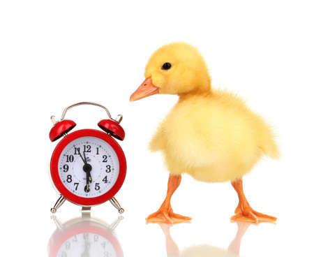Duckling and alarm clock isolated on white photo